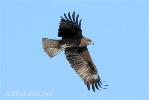 黒鳶,トンビ,鳶,基隆港,台湾探鳥,バーディング,台湾の鳥