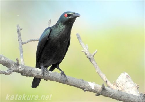 ミドリカラスモドキ,外来種,台湾探鳥,高雄の鳥,高雄,中都湿地公園,台湾探鳥,外来種,高雄野鳥,台湾の鳥