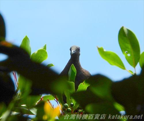 カラスバト,小野柳,野柳,台湾探鳥日記,台湾の鳥