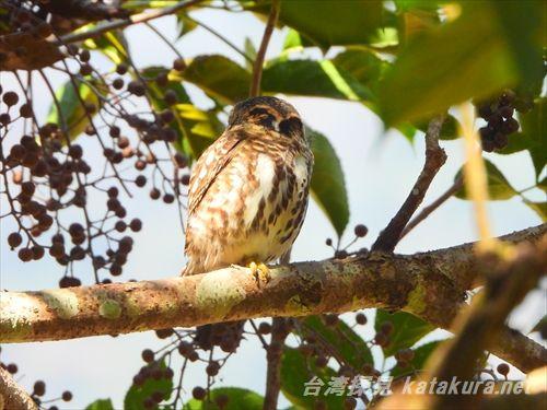 ヒメフクロウ,台湾の鳥,台湾賞鳥,台湾バードウォッチング,太魯閣峡谷