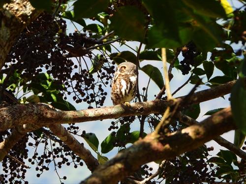 ヒメフクロウ,台湾の鳥,もっと知りたい台湾,台湾体験,台湾探見,片倉佳史,片倉真理