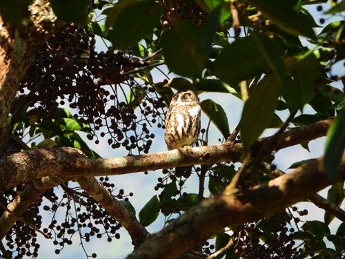 ヒメフクロウ,鵂鶹,擬眼,台湾鳥,台湾野鳥,タロコ峡谷,布洛湾,台湾野鳥,片倉佳史