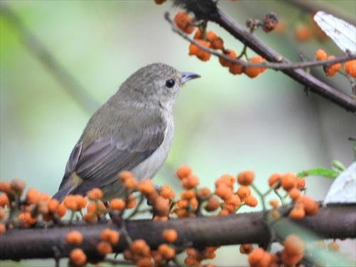 アオハナドリ,ヤナギイチゴ,台湾探鳥日記,台湾の鳥、緑啄花,台湾野鳥,台湾の自然,台湾特捜