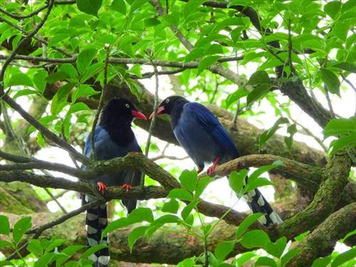 ヤマムスメ,藍鵲,台湾探鳥日記,台湾の鳥,前山公園,陽明山,営巣期
