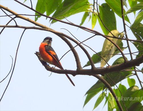 ベニサンショウクイ,烏来,台湾探鳥,台湾の鳥,珍鳥,台湾固有種,烏來,片倉佳史,もっと知りたい台湾,片倉真理