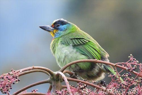 ゴシキドリ,五色鳥,烏来,烏來,台湾探鳥,台湾の鳥,野鳥観察