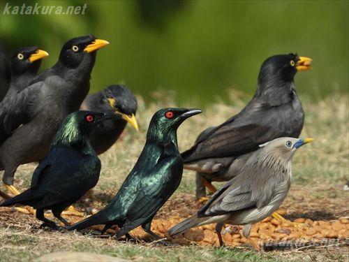ミドリカラスモドキ,ハッカチョウ,インドハッカ,ジャワハッカ,インドコムクドリ,中都湿地公園,台湾探鳥,外来種,高雄の鳥,台湾の鳥