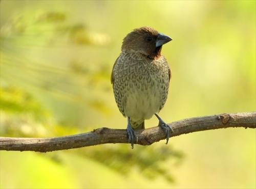 シマキンパラ,縞金腹,台湾探鳥,斑文鳥,台湾の鳥,バードウォッチング,