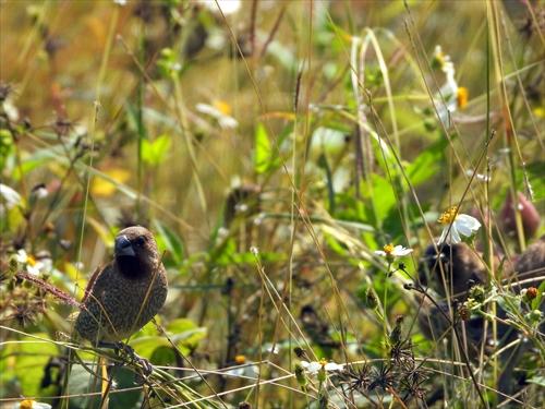 アカハラ,斑文鳥,縞金腹,シマキンパラ,中都濕地公園,高雄の自然,高雄,台湾体験,台湾探見