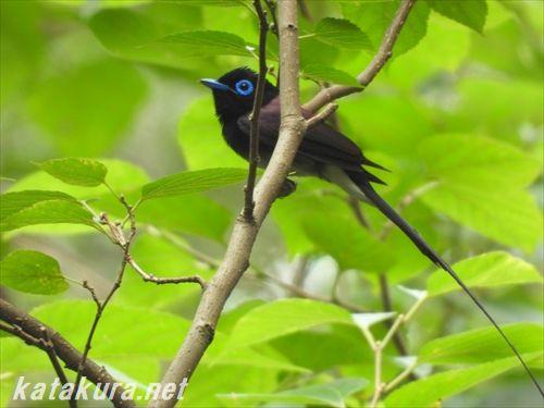 サンコウチョウ,三光鳥,紫绶带紫綬帶,台湾探鳥,台湾の鳥,台湾野鳥,台湾バードウォッチング