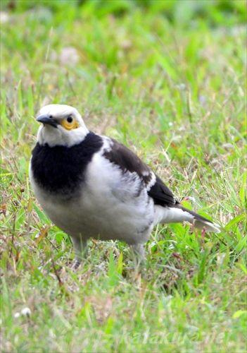 クビワムクドリ,外来種,台湾探鳥日記,台湾の鳥,バーディング,バードウォッチング,華江河濱公園,ハッカチョウ