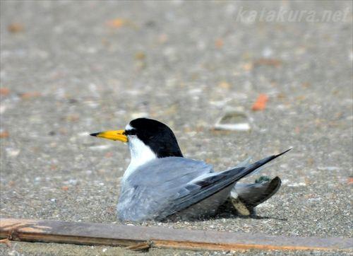 小燕鷗,小アジサシ,台湾賞鳥,台湾の鳥,ウミネコ,生態保護区,台湾鳥撮,台湾探鳥