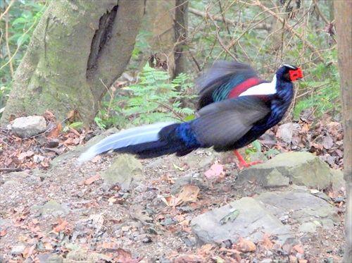 サンケイ,特有種,台湾固有種,大雪山野鳥,大雪山森林遊樂區,台湾鳥,台湾探鳥,台湾の鳥,台湾バードウォッチング