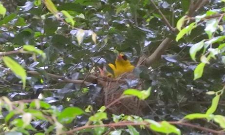 コウライウグイス,高麗鴬,黄鸝,台湾の鳥,台湾野鳥