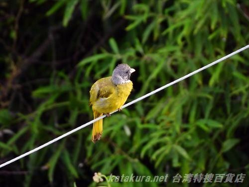 カヤノボリ,萱昇,台湾の鳥,台湾野鳥,台湾探鳥,台湾バード,梨山,阿里山,武陵農場,福寿山農場,鳥探し