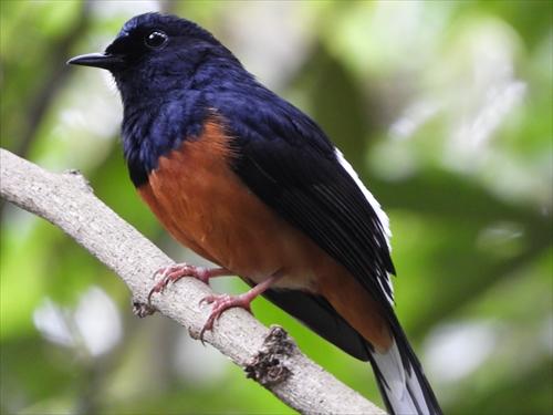 シキチョウ,四季鳥,四喜鳥,アカハラシキチョウ,台北植物園,台湾の鳥
