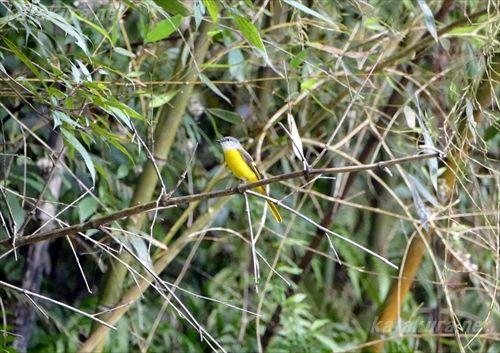 ベニサンショウクイ,烏来,探鳥日記,台湾の鳥,珍鳥,固有種,烏來,片倉佳史,もっと知りたい,野鳥撮影
