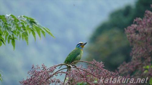 ゴシキドリ,五色鳥,南勢溪,バードウォッチング,台湾探鳥日記,賞鳥,野鳥