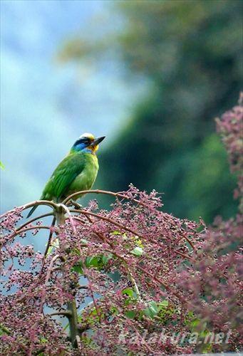 ゴシキドリ,五色鳥,ウライ,バーディング,探鳥日記,賞鳥地點,野鳥