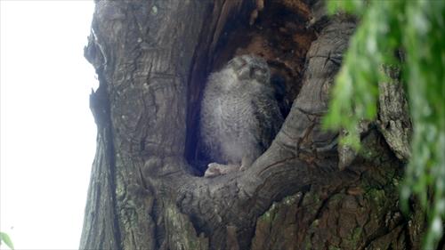 フクロウ,台湾野鳥,チャメオオコノハズク,台湾賞鳥,野鳥観察,台湾体験,台湾探見