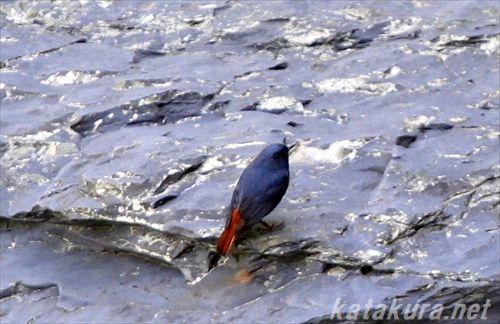 カワビタビ,台湾の鳥,烏来,台湾の野鳥,鉛色水鶇,臺灣賞鳥