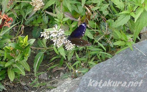 ルリマダラ,紫斑蝶,茂林,下三社,ルカイ族,萬山,多納