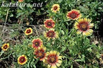 天人菊,澎湖,花