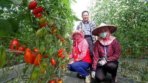 tomato,jiayi,プチトマト,台湾,嘉義