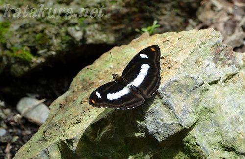 タイワンイチモンジ,ヤエヤマイチモンジ,埔里,彩蝶瀑布,蝶,固有種