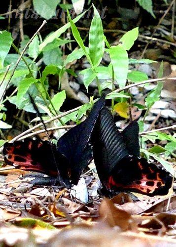 ワタナベアゲハ,埔里,渡邊鳳蝶,台湾,蝶,Papilio thaiwanus Rothschild