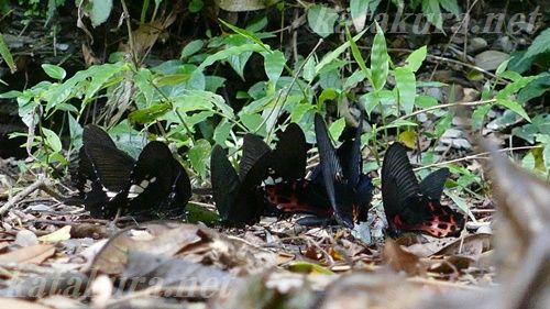 ワタナベアゲハ,台湾固有種,埔里,台湾