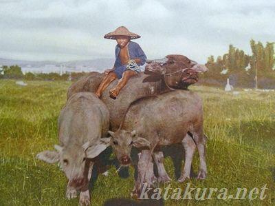 水牛,農村風景,日本統治時代,ディープ台湾,台湾歴史秘話