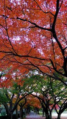 小石川植物園,紅葉