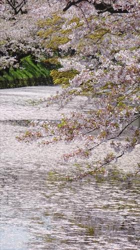弘前城,桜,櫻花,弘前城
