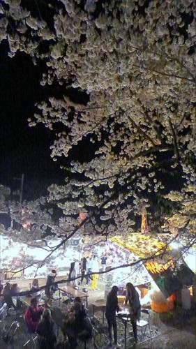 角館,夜桜,櫻花