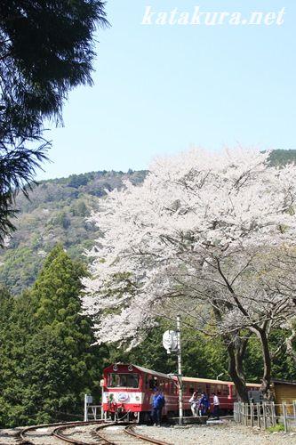 大井川鐵道,サクラ,井川線