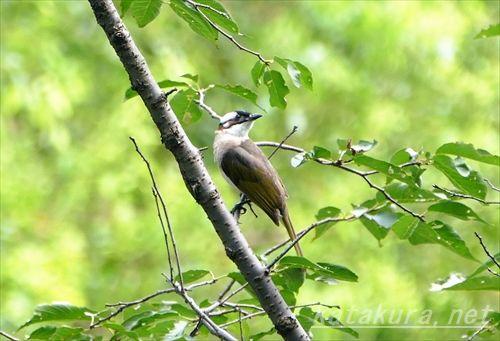 シロガシラ,台湾シロガシラ,中正紀念堂,台湾の鳥,台湾野鳥,固有亜種,台湾固有種
