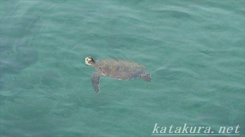 海亀,小琉球,ウミガメ,アオウミガメ