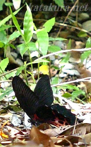 ワタナベアゲハ,埔里,蝶,台湾,渡邊亀作